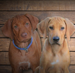 On The Rocks Rhodesian Ridgebacks - Dog and Puppy Pictures