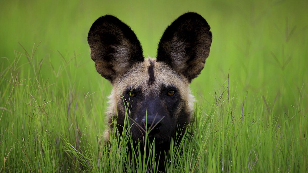 African Wild Dog Dogs and Puppies