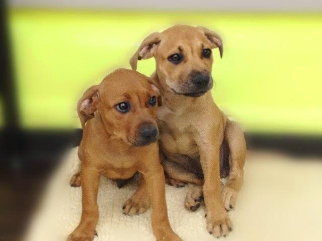 American Bandogge Mastiff Dogs and Puppies
