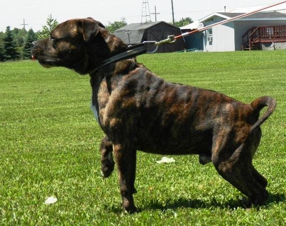 American Bandogge Mastiff My Dog Breeders Part 58