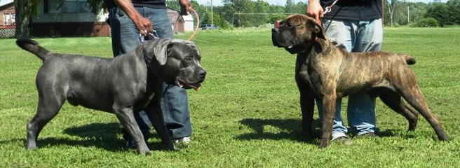 American Bandogge Breeder - Dog Breeders