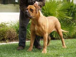 On/Off Bandogs Greece - Dog Breeders