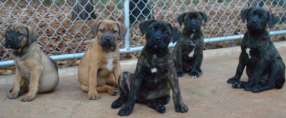 Bandogs, American Bandogs, Family Guardians, Mastiff - Dog Breeders