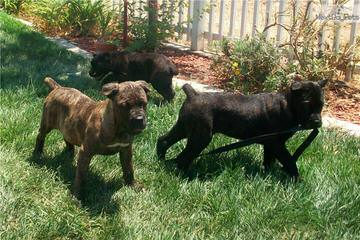 Monster's of Molosser - Dog Breeders