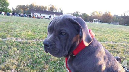 American Bulldog Pups - Dog Breeders