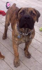 Bryson Bandogges - Dog Breeders