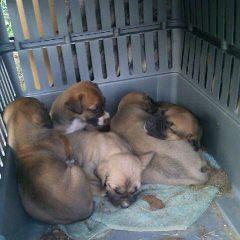Chimera Kennels - Dog Breeders