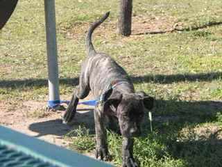 American Bandogges - Dog Breeders