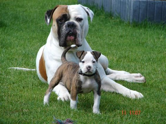 American Bulldog Dogs and Puppies