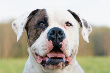 Intoxicating Bullies - Dog Breeders