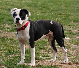 Staffordshire Bull Terriers & American Bulldogs - Dog Breeders