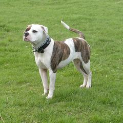 Browns Creek American Bulldogs - Dog Breeders
