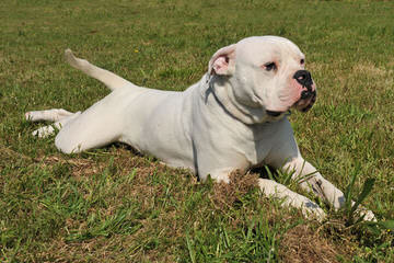Rainshadow American Bulldogs - Dog Breeders