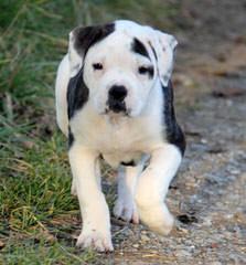 Bailey Bullies - Dog Breeders