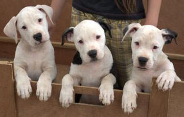 Blonde Bella - Dog Breeders