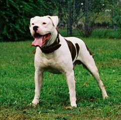Cummings American Bulldogs - Dog Breeders