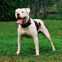 Mccabe's American Bulldogs - Dog Breeders