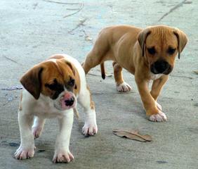 Tina Cheri - Dog Breeders