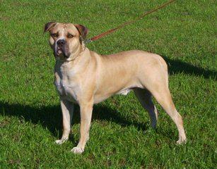 Staffordshire Bull Terriers & American Bulldogs - Dog Breeders