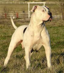 Gittinger's Bulldogs - Dog Breeders