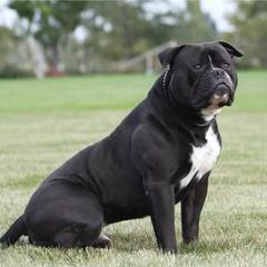 Championship Line American Bulldog Puppies - Dog Breeders