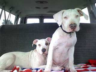 Blue Collar American Bulldogs - Dog Breeders