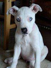 Eracksamericanbulldogs.Com - Dog Breeders