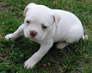 China's American Bulldog Puppies - Dog Breeders