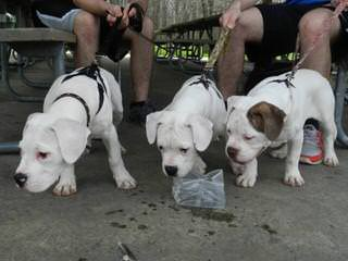 Championship Line American Bulldog Puppies - Dog and Puppy Pictures