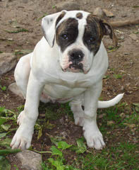 Heritage Style Bullies - Dog Breeders