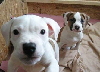 Cummings American Bulldogs - Dog Breeders