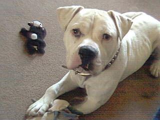American Bulldog Puppies - Dog Breeders