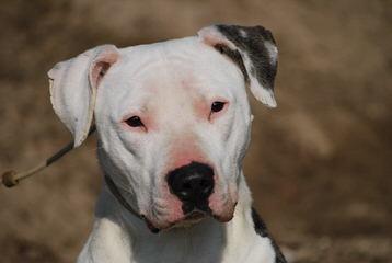 Chasteen - Dog Breeders