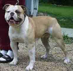 Martin's American Bulldogs - Dog Breeders