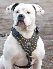 Looking For An American Bulldog Dam (With Papers) - Dog Breeders