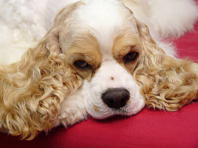 American Cocker Spaniel Dogs and Puppies