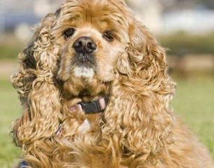Akc American Cocker Spaniel Puppies - Dog Breeders