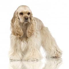 Ivorilace cockers and yorkies - Dog Breeders