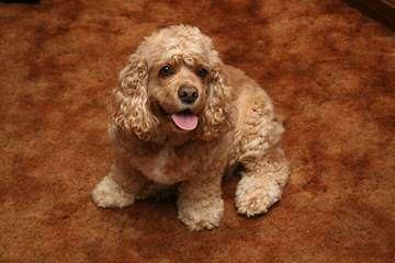 Comstock's Cocker Spaniels - Dog Breeders