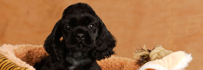 Cocker Spaniel Puppies in Texas - Dog and Puppy Pictures