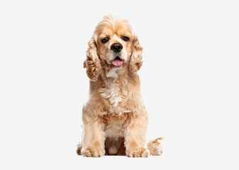 Aca Registered Spaniel Looking For A Mate - Dog Breeders