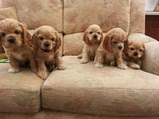 Cocker Spaniel Puppies in Tennessee - Dog Breeders
