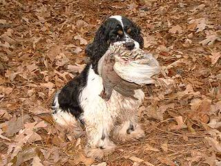 Attala County Cockapoos American Cocker Spaniel - Dog and Puppy Pictures