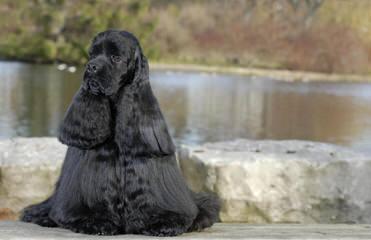 Cocker Spaniel Puppies - Dog Breeders