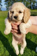 Cockapoo Puppies - Dog and Puppy Pictures