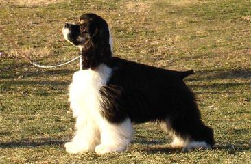 Beautiful Akc Cocker Pups - Dog Breeders