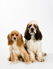 Moondrop Gardens Cocker Spaniels - Dog and Puppy Pictures