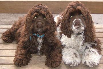 Cocker Spaniel Puppies in Texas - Dog Breeders