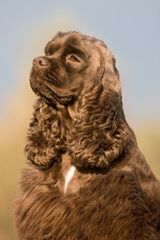 Akc Cocker Spaniels - Dog Breeders