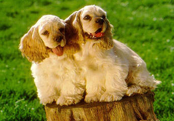 Comstock's Cocker Spaniels - Dog and Puppy Pictures